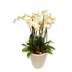 Orchidplant in ornamental pot