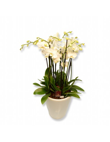 Orchideeplant in sierpot
