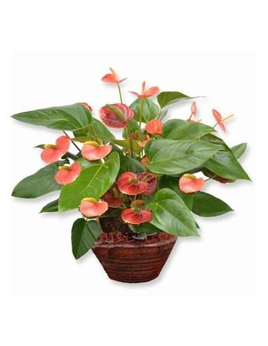 Plante d'anthurium
