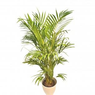 Palmtree-Areca